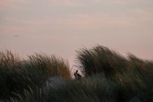 Haas in de duinen